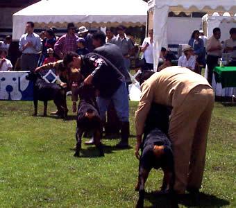 Exposición Canina en Cuenca .- Sesiones breves, el animal aprenderá de a poco y lo mejor es que aprenda divirtiéndose.