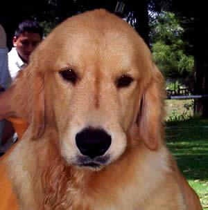 Exposición Canina en Cuenca .- Hay una gran variedad de collares livianos para cachorros. Algunos tienen botones y otros un broche a presión. No importa qué clase de collar elija para su cachorro, recuerde adherirle una etiqueta con el nombre del cachorro, su dirección y número de teléfono.