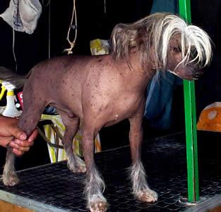Exposición Canina en Cuenca .- Recuerde incluir un peine para pulgas entre los artículos y establezca un programa de cuidado semanal con su cachorro lo antes posible.